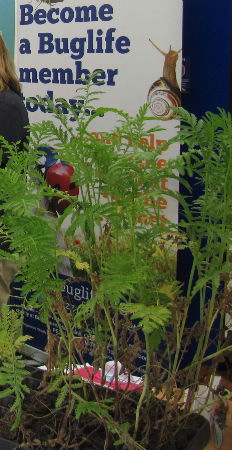 Tansy plants being given out to Tansy Beetle Champions to rear ...