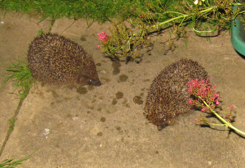 Courting hedgehogs in our garden, 4 July 2016