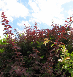 Our Berberis bush