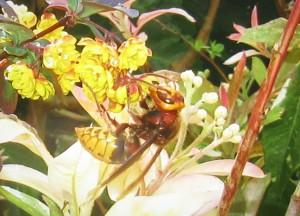 Hornet feeding on our Berberis bush, May 2016