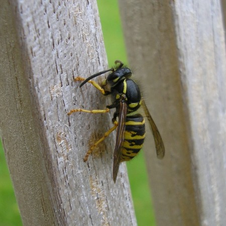 Wasp chewing wood