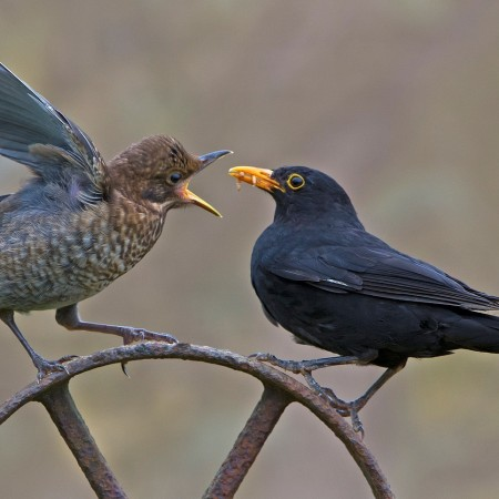 Blackbird feeding its fledgling by Phil Winter