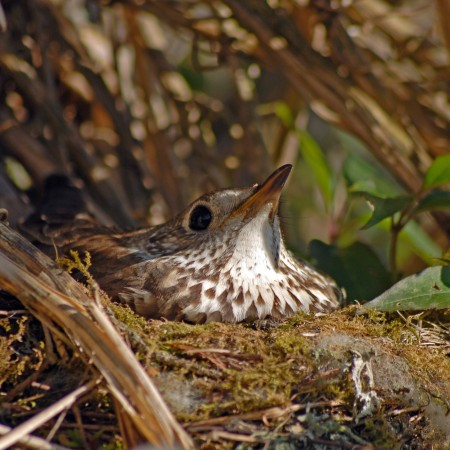 Mistle thrush incubating her eggs