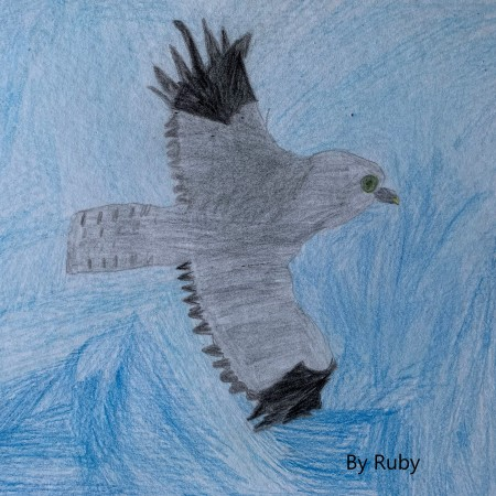 Hen Harrier by Ruby