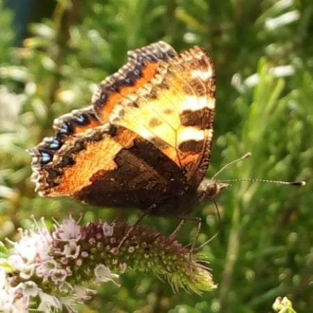Small tortoiseshell on mint
