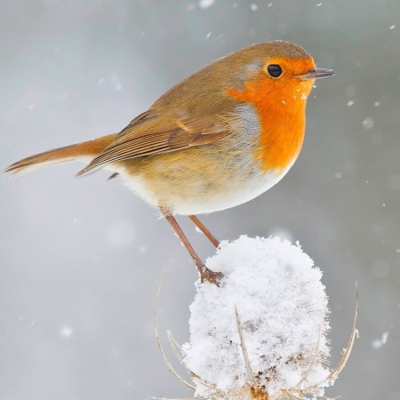 Robin by Phil Winter